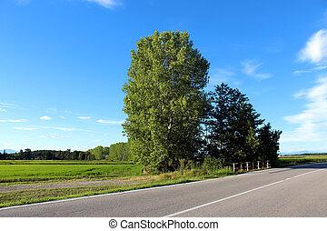 Roadside birch trees in summer