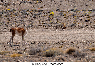 Roadside Guanaco in Argentina