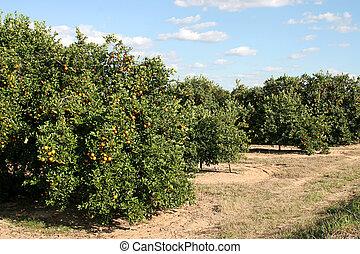 Roadside Orange Grove - A florida orange grove with oranges...