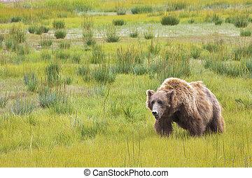 roaming bear - A bear roaming around Denali National Park