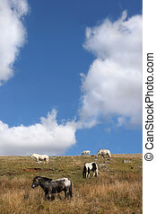 Roaming Free - Wild Welsh Mountain ponies roaming free in...