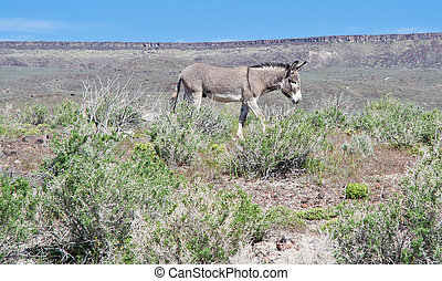Roaming  - Wild Male Donkey roaming in the pastures