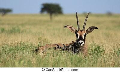Roan antelope - A rare roan antelope (Hippotragus equinus)...