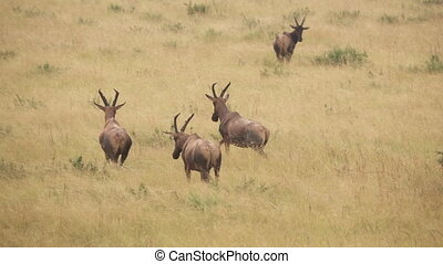 Roan antelopes in super slow motion