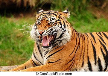 Roar of a tiger - Gorgeous Sumatran tiger threatening its...