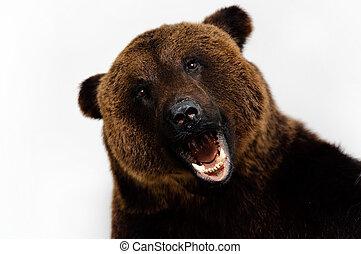 roared bear  - bear on a white background