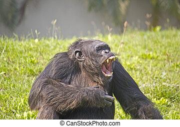 Roaring Chimpanzee