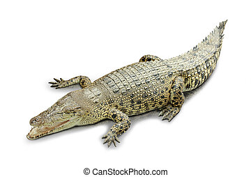 Roaring crocodile isolated in white background - A portrait...