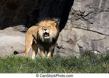 Roaring Lion - Large African Lion Roaring, green grass in...