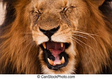 Roaring lion near Kruger National Park, South Africa