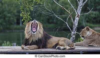 roaring lion on top of car