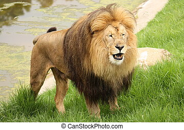 Roaring Lion - Lion standing up in grass starting to roar