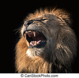 Roaring male lion on a black background