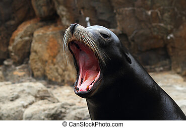 Roaring Seal - A Seal barking on the rocks