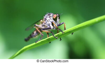 Robber fly - Asilidae - Robber fly in a super macro shot