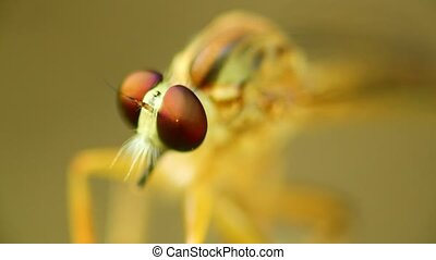 Robber fly perched on the stem of a plant resting, macro close up static shot in hd with bokeh neutral background.