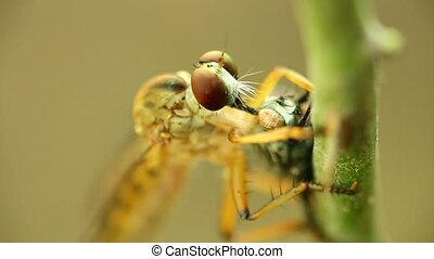 Robber Fly Feeding On A Fly Macro Close Up Detail - Robber ...
