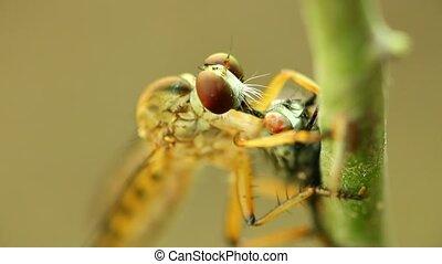 Robber Fly Feeding On A Fly Macro - Robber fly feeding on a ...