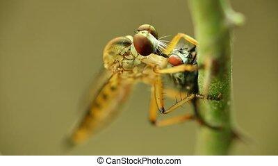 Robber Fly Feeding On A Fly Macro - Robber fly feeding on a...