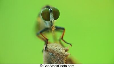 Robber Fly Feeding On Another Bug Close Up Insect Footage - ...