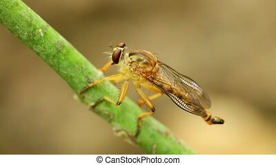 Robber Fly Perched Cleaning Resting Macro Close Up - Robber ...