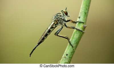 Robber fly perched resting macro close up - Robber fly ...