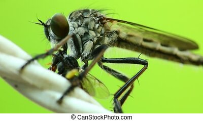 Robber Fly Sucking Fluids Out Of A Dead Fly HD - Robber fly ...