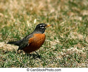 Cheerful red-breasted robin announces that Spring has arrived.