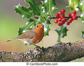 A Male robin by holly tree