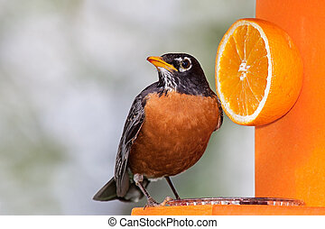 Robin and Orange - Robin sits on an orange feeder next to a...