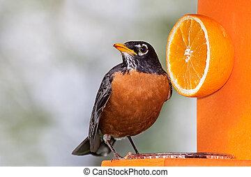 Robin and Orange - Robin sits on an orange feeder next to a...