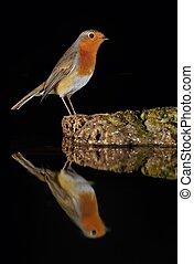 Robin at night.