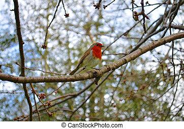 robin bird sitting on a tree in spring