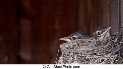 Robin chicks impatiently waiting in a nest for their mother to return