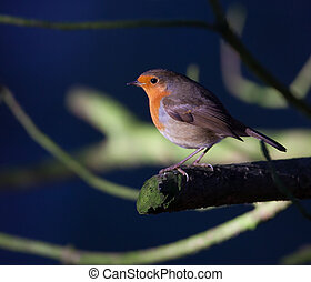 Robin close up on a branch