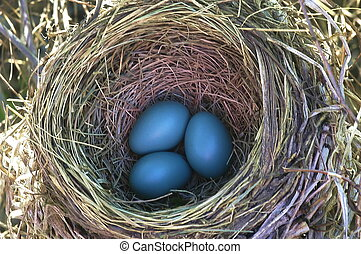 robin eggs in a nest.
