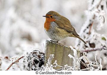Robin, Erithacus rubecula, single bird in frost, Midlands,...