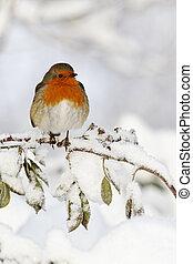Robin, Erithacus rubecula, single bird in snow, West ...
