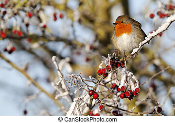 Robin, Erithacus rubecula, single bird on frosty berries,...