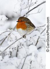 Robin, Erithacus rubecula, single bird in snow, West...