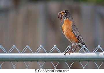 Robin Holding an Earthworm on a Fence