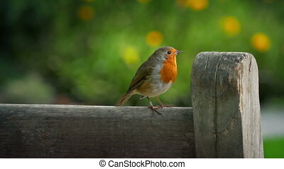 Robin hops on wooden bench and eats insects in pretty garden