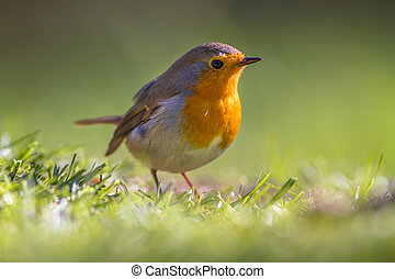 Robin in a grass field - A red robin (Erithacus rubecula)...