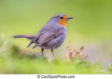 Robin in backyard
