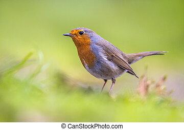 Robin in grass backyard