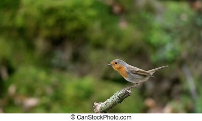 Robin in slow motion