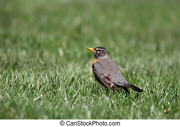 Robin in the grass
