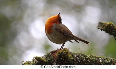 Robin is in an unusual position raising his head to the sky