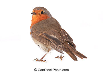 robin isolated on a white background
