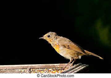 Robin Juvenile Brightly Lit Profile View